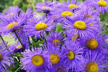 Purple aster flowers blooming in flowerbed.