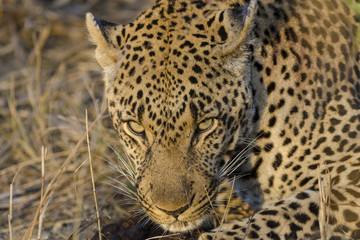 Leopard (Panthera pardus). Mpumlanga. South Africa