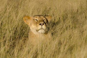 Lion (Panthera leo). Northern Cape. South Africa.