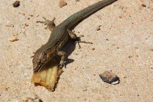 Spanish Lizard eating Banana