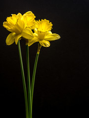 Three daffodils on black with copy space
