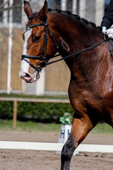 Portrait of brown sport horse during show