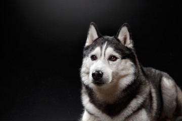 portrait of a dog Siberian Husky in the studio