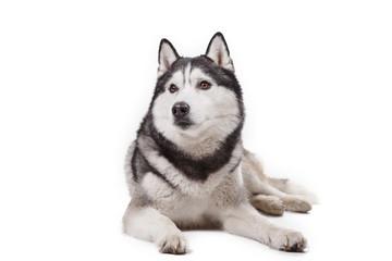 dog Siberian husky on a white background