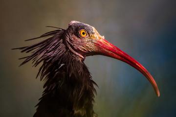 An ugly bird with a long red beak.