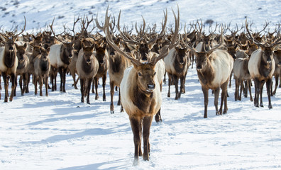 A herd of elk in the snow.