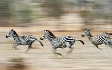 Three zebras sprinting in Selous Game Reserve, Tanzania.