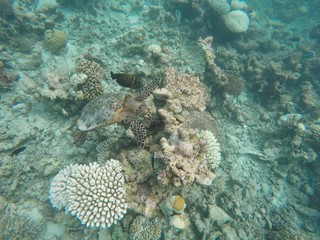 Turtle with friend, Maldives