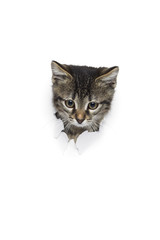 Cat in hole of paper, little grey tabby kitty looking through torn white background, funny pet