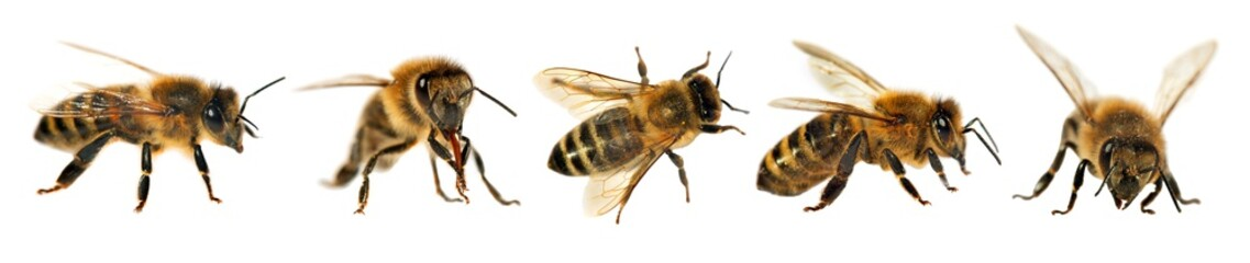 group of bee or honeybee, Apis Mellifera