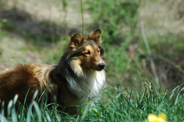 Collie in the sun