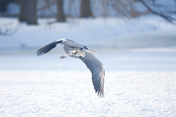 grey heron, ardea cinerea, czech republic
