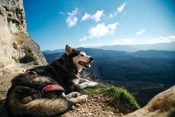 the dog pulls on the rope in a mountain