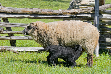 Mother and Baby Sheep