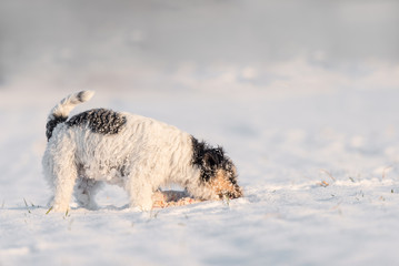 Dog eats snow - Jack Russell Terrier
