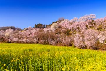 花見山の菜の花
