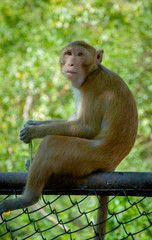 monkey sitting on fence for background.