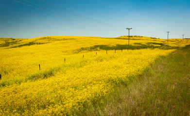 beautiful field of yellow flowers on rolling hills