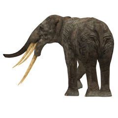 Stegotetrabelodon Elephant Tail - Stegotetrabelodon was an elephant that lived in the Miocene and Pliocene Periods of Africa and Eurasia.