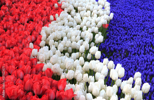Holland flag formed from flowers red and white tulips and blue holland flag formed from flowers red and white tulips and blue hyacinth mightylinksfo
