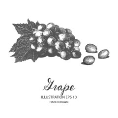Grape hand drawn illustration by ink and pen sketch. Isolated vector design for fruit and vegetable products and health care goods.