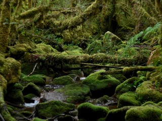 A thick, mossy, green, overgrown forest in the Cochamo valley in Southern Chile