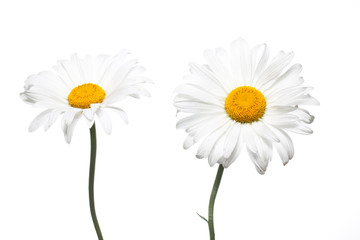 Floral  wallpaper. Beautiful white daisy flowers