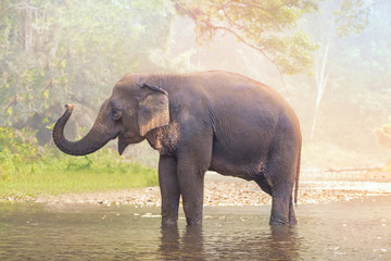 Elephants on nature river in deep nature forest at Thailand,Asia
