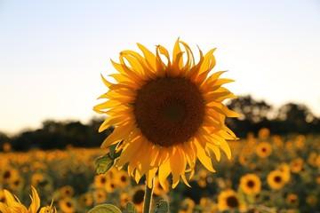 tournesol ,fleur,jaune,huile,soleil,ocre,bleu,été,