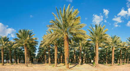 Plantation of date palms