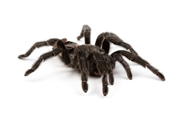 Isolated photo of black spider's pelt