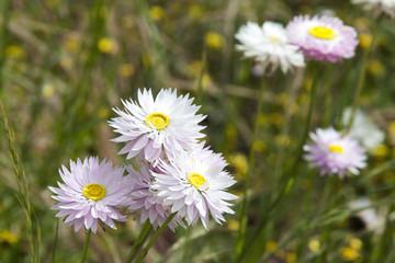 Wild Flowers West Australia