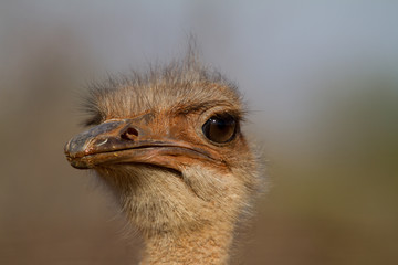 Ostrich, Madikwe Game Reserve