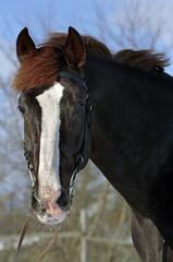 Horse winter portrait