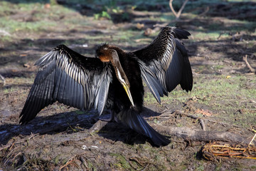 Australian darter drying its wings, Yellow Water, Kakadu National Park, Australia