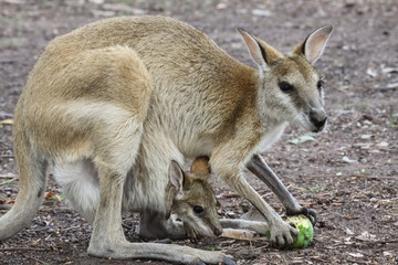 Agile wallaby mother with baby feeding on fruit, Northern Territory, Australia