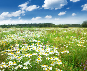Wall Mural - Field with chamomile flowers and blue sky