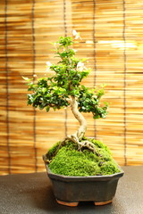 Bonsai tree in the old pot.