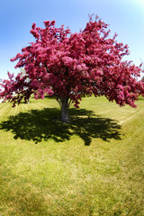 Cherry Tree Blossoms Garden Pink Beautiful