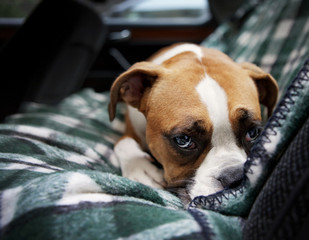Boxer Puppy in car
