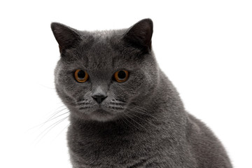 Portrait of a gray cat on a white background.