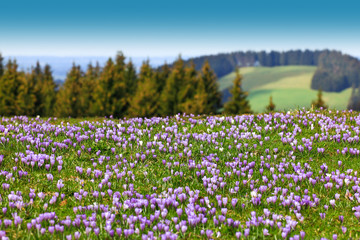 Field of wild purple crocuses. Trees and sky in background.