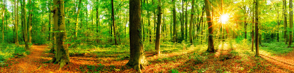 Fototapete - Wald Panorama mit Waldweg bei Sonnenschein im Frühling