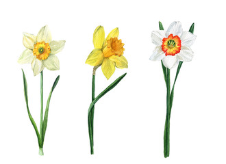 Set of three watercolor of daffodils of different varieties