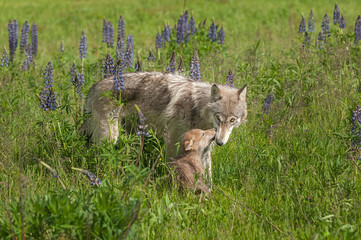 Fototapete - Grey Wolf (Canis lupus) Nuzzled by Pup