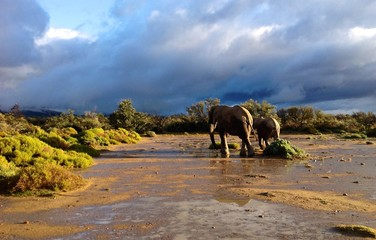 Elephants against stormy sky