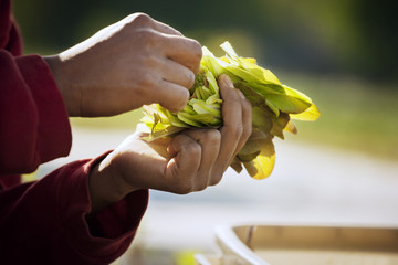 Close-up of farmer's hands examining plant