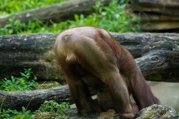 Young friendly orangutan greets visitors in zoo