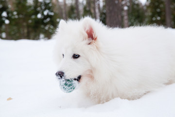 Samoyed dog on the snow in the winter