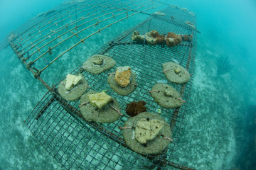 Research on Elkhorn Corals in Caribbean Sea